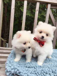 AdorableTeacup Tiny size teddy bear white Pomeranian puppies FOR SALE ADOPTION