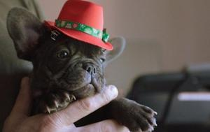 Outstanding French Bulldog puppies FOR SALE ADOPTION