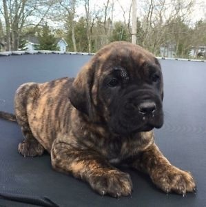 PURE BREED REGISTERED CANE CORSO PUPPIES FOR SALE ADOPTION