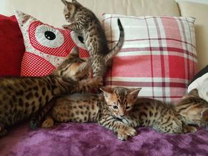 Pedigree Bengal Kittens available now FOR SALE ADOPTION