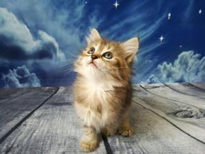 Pure Siberian Hypoallergenic Kittens available now FOR SALE ADOPTION