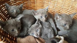 Stunning Pedigree Russian Blue Kittens FOR SALE ADOPTION