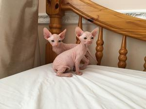 Stunning Sphynx kittens looking for forever loving home FOR SALE ADOPTION