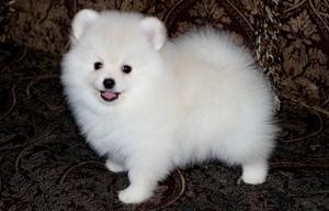 Your Dream Gorgeous Teacup Pomeranian Puppies FOR SALE ADOPTION