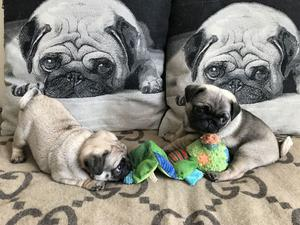 CKC Pug Puppies Available For Good Homes FOR SALE ADOPTION