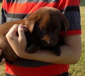 Chocolate Labrador Retriever Puppies FOR SALE ADOPTION