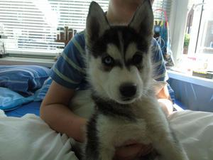 Friendly Siberian Husky Puppies For Good Homes FOR SALE ADOPTION