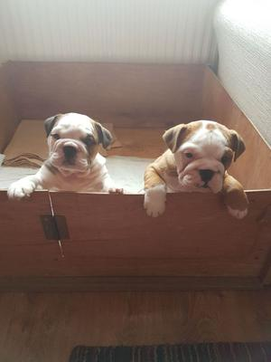 Generous English Bulldog Puppies Available FOR SALE ADOPTION