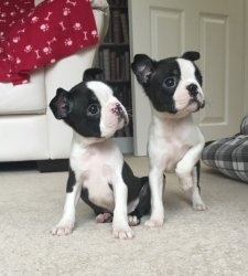 Ready Now Boston Terrier Puppies FOR SALE ADOPTION