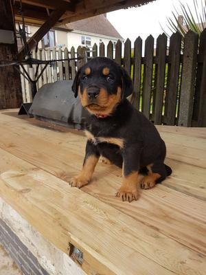 Responsible Rottweiler Puppies Available For Good Homes FOR SALE ADOPTION