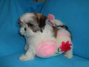 Shih Tzu Puppies Available FOR SALE ADOPTION