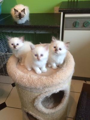 Stunning Litter of Birman Kittens available FOR SALE ADOPTION
