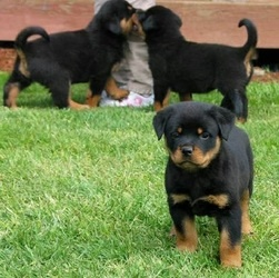 Stunning Rottweiler puppies ready FOR SALE ADOPTION