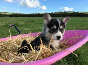 Two Beautiful Pembroke Welsh Corgi Puppies Available For New Homes FOR SALE ADOPTION