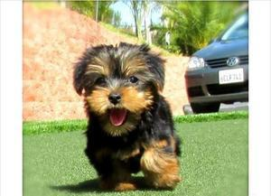 Yorkshire Terrier puppies FOR SALE ADOPTION