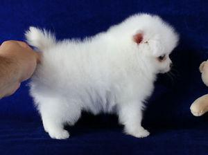 Adorable Pedigree Pomeranian Puppies Ready FOR SALE ADOPTION