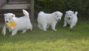 Affectionate Samoyed Pure White Samoyed Puppies FOR SALE ADOPTION