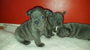 Blue French Bulldog Puppies ready to leave FOR SALE ADOPTION