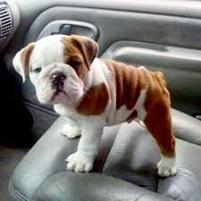 Charming english bulldog for sale call or text  FOR SALE ADOPTION