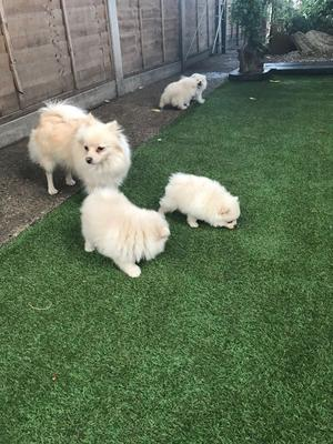 Gorgeous Litter Of Pomeranian Puppies available now FOR SALE ADOPTION