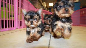 Gorgeous Yorkshire Terrier for sale FOR SALE ADOPTION