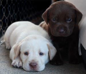 Healthy Labrador Retriever puppies FOR SALE ADOPTION