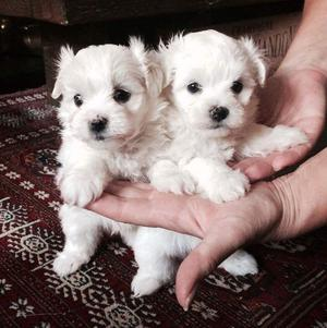 Wonderful Fluffy Maltese Puppies FOR SALE ADOPTION