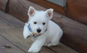 Active 4 West Highland White Terrier Puppies FOR SALE ADOPTION
