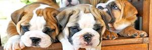 Beautiful English Bulldog Puppies for Sale FOR SALE ADOPTION