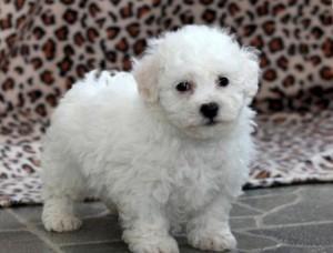 Bichon Frise Puppies FOR SALE ADOPTION
