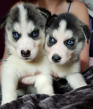 Blue eyed Siberian Husky puppies for sale FOR SALE ADOPTION