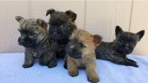 Cairn Terrier Puppies For adoption FOR SALE ADOPTION