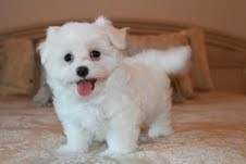 Healthy 10 weeks old Maltese puppies FOR SALE ADOPTION