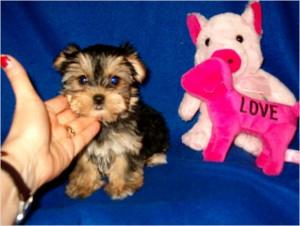 Morkie Puppies Ready NOW FOR SALE ADOPTION