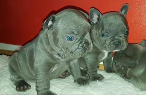 Outstanding Blue French Bulldog FOR SALE ADOPTION