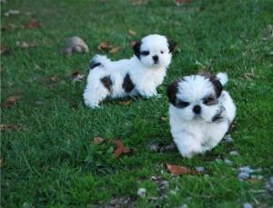 Shih Tzu puppies FOR SALE ADOPTION