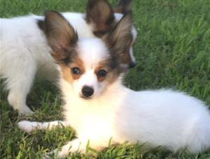 Stunning Papillon Puppies For Adoption FOR SALE ADOPTION