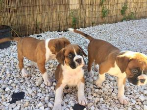 Beautiful Boxer Pups ready to go to their new homes FOR SALE ADOPTION