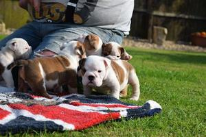 English Bulldog Puppies Ready Now FOR SALE ADOPTION