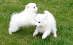 home raised pure bred Japanese Spitz puppies read FOR SALE ADOPTION