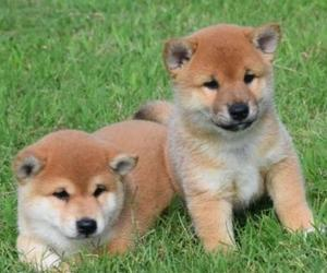 Champion Sihba Inu puppies puppies male and female for adoption FOR SALE ADOPTION