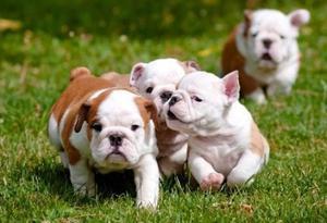English Bulldog Puppies For Adoption FOR SALE ADOPTION