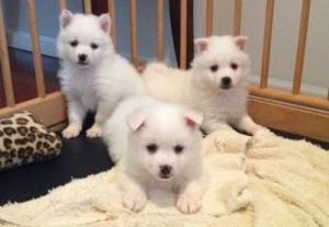 Extra Charming American eskimo dog Puppies Available For Great Homes FOR SALE ADOPTION