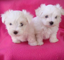 Maltese Puppies For Adoption FOR SALE ADOPTION