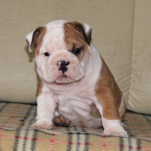 Triple English Bulldogs FOR SALE ADOPTION