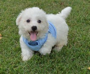 cKC Female Male BICHON FRISE Pups For Adoption FOR SALE ADOPTION