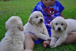 Adorable purebred Golden Retriever puppies ready to leave now FOR SALE ADOPTION