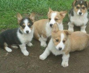 Cute and adorable Pembroke Welsh Corgi puppies for adoption FOR SALE ADOPTION