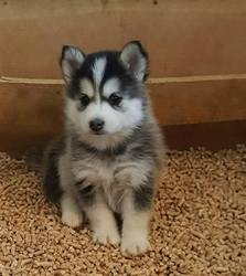 Pomsky Puppies Available now FOR SALE ADOPTION