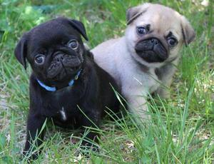Pug puppies ready to go FOR SALE ADOPTION
